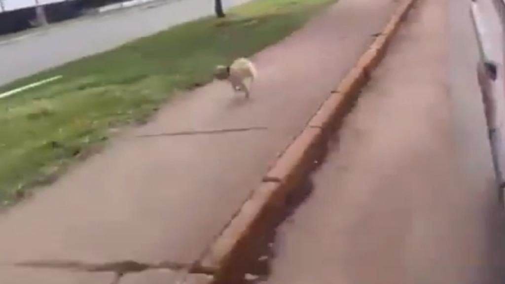 El perrito jamás se detuvo hasta que logró reunirse con su dueño.