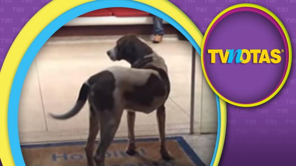 Perro muestra lealtad a su dueña ya fallecida, esperándola afuera del hospital.