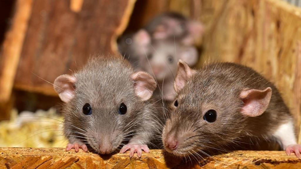 Captan intensa pelea de ratas en un supermercado