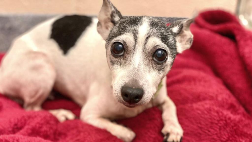 La dueña de la perrita logró encontrarla 12 años después de haberla perdido.