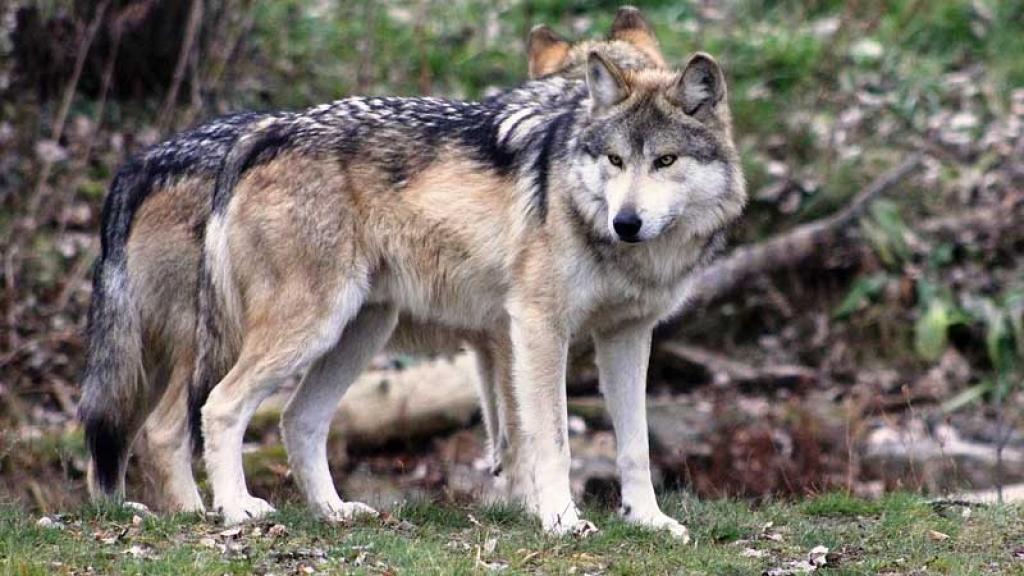 Nacen lobos mexicanos