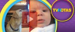 La pelea entre dos perros labradores contra un bebé se ha vuelto viral.