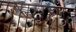 Prohiben la venta de carne de perro en polémica festival chino