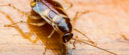 Cucaracha.