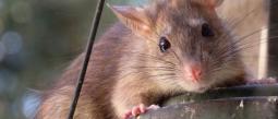 Cae del techo una enorme rata dentro de un platillo de un reconocido restaurante