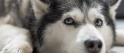 Exhiben a entrenador de perros asfixiando a un husky