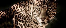 Surge nuevo reto viral, ¡encuentra al leopardo en la foto!