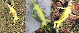 Las olas de frío podrían hacer caer a las iguanas petrificadas y golpear la cabeza de quien vaya caminando.