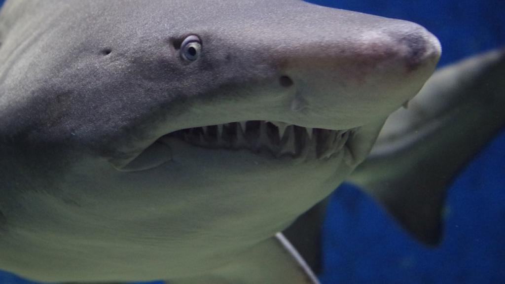 Descubren una nueva especie de tiburón en México